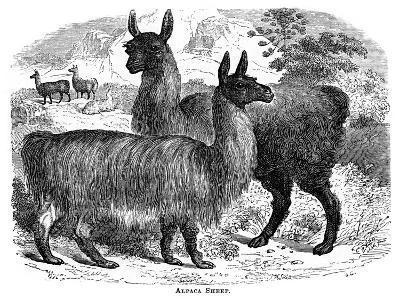Alpaca Sheep, C1880-J C-Giclee Print