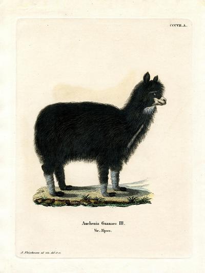 Alpaca--Giclee Print