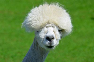 Alpaca-meunierd-Photographic Print