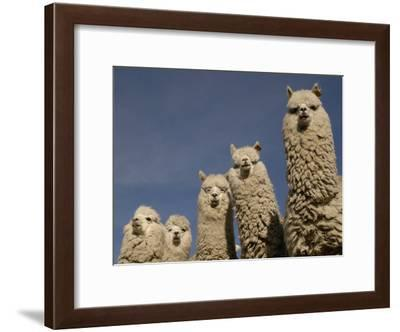 Alpacas, Andes, Ecuador-Pete Oxford-Framed Photographic Print