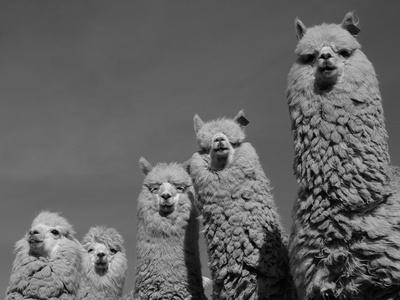 https://imgc.artprintimages.com/img/print/alpacas-andes-ecuador_u-l-q10ohdp0.jpg?p=0