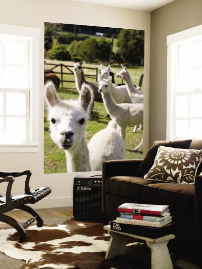 Alpacas on Farm-Rachel Lewis-Wall Mural