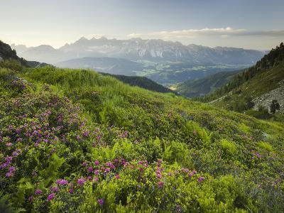 Alpenrose, Reiteralm, Dachstein, Ennstal, Styria, Austria-Rainer Mirau-Photographic Print