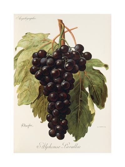 Alphonse Lavallee Grape-A. Kreyder-Giclee Print