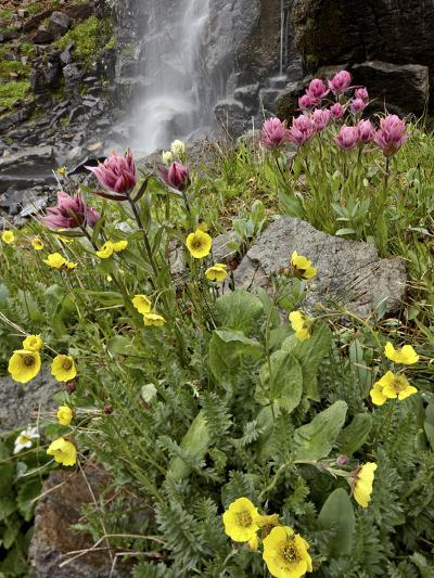 Alpine Avens (Acomastylis Rossii Turbinata)/Rosy Paintbrush (Castilleja Rhexifolia), Colorado, USA-James Hager-Photographic Print