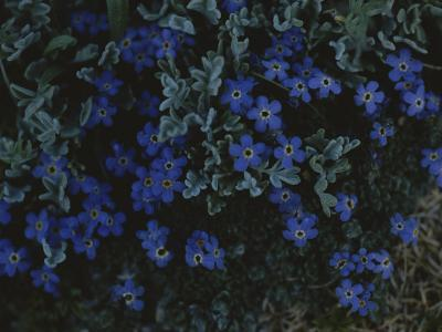 Alpine Forget-Me-Nots Wildflowers, Beartooth Wilderness, Wyoming-Raymond Gehman-Photographic Print
