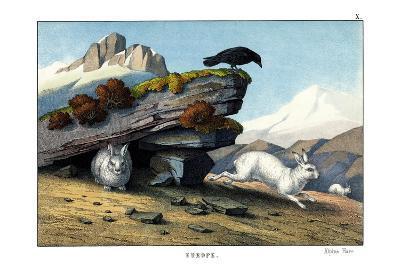 Alpine Hare, 1860--Giclee Print