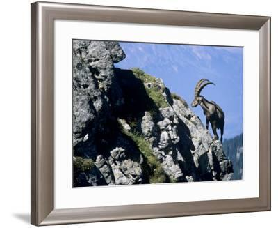 Alpine Ibex,Niederhorn, Interlaken, Switzerland-Rolf Nussbaumer-Framed Photographic Print