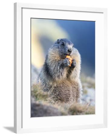 Alpine Marmot in the Hohe Tauern, Mount Grossglockner. Austria-Martin Zwick-Framed Photographic Print