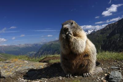 Alpine Marmot (Marmota Marmota) Feeding, Hohe Tauern National Park, Austria, July 2008-Lesniewski-Photographic Print