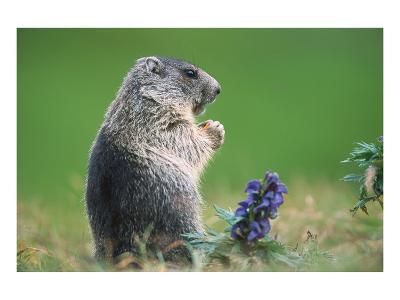 Alpine marmot (Marmota marmota)--Art Print