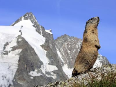 Alpine Marmot on Hind Legs--Photographic Print