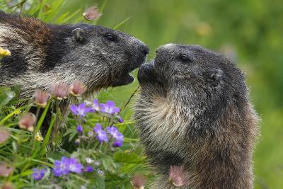 Alpine Marmots (Marmota Marmota) Feeding on Flowers, Hohe Tauern National Park, Austria-Lesniewski-Photographic Print