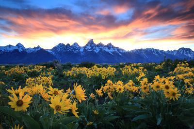 Alpine Sunflowers Illuminated by a Glowing Sunset over Snow-Capped Mountains-Robbie George-Photographic Print