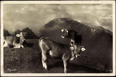 Alpvieh Im Gebirge, Kühe Auf Der Weide, Nebel--Giclee Print