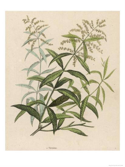 Also Called Verveine or Vervain Giclee Print by | Art com