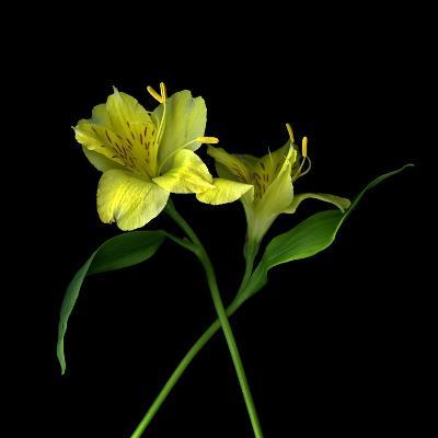Alstroemeria 3-Magda Indigo-Photographic Print