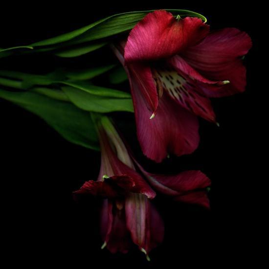 Alstroemeria 4-Magda Indigo-Photographic Print