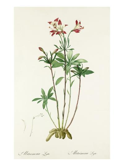 Alstroemeria ligtu-Pierre-Joseph Redout?-Giclee Print
