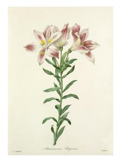 Alstroemeria Pelegrina-Langlois-Giclee Print