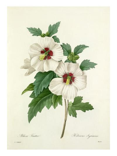 Althea Frutex: Hibiscus Syriacus-Joseph Marie Bessin-Giclee Print