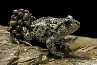 Alytes Obstetricans (Common Midwife Toad) - Male with Eggs-Paul Starosta-Photographic Print