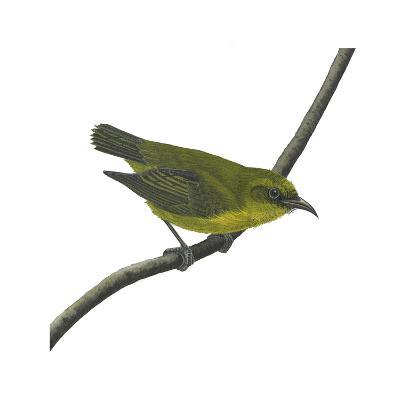 Amakihi (Loxops Virens), Birds-Encyclopaedia Britannica-Art Print