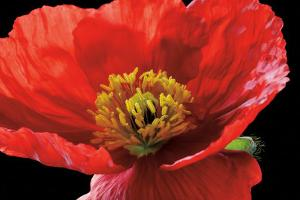 Red Poppy by Amalia Veralli
