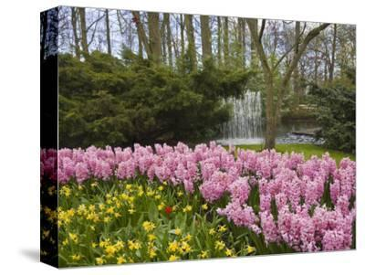 Pink Hyacinths and Daffodils, Keukenhof, Park and Gardens Near Amsterdam, Netherlands, Europe