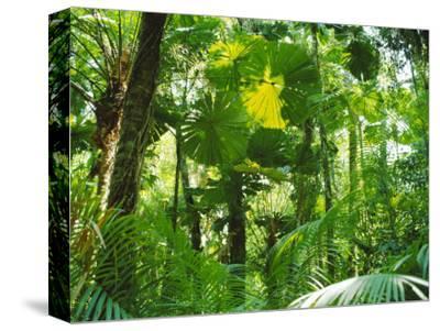 Rainforest Canopy, Cape Tribulation National Park, Queensland, Australia