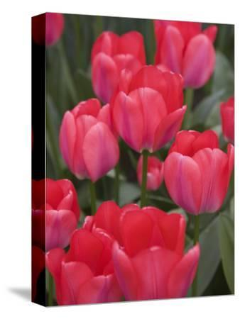 Red Tulips, Keukenhof, Park and Gardens Near Amsterdam, Netherlands, Europe