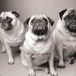 Three Pugs by Amanda Jones