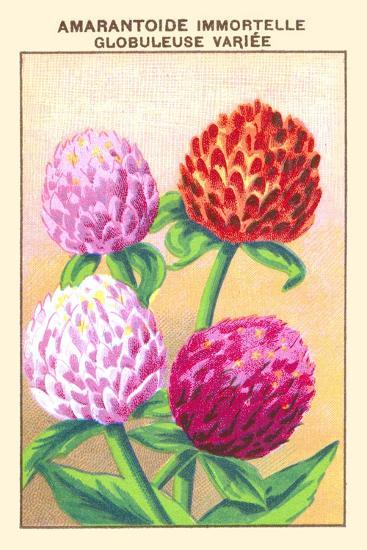 Amarantoide Immortelle Globuleuse Variee--Art Print