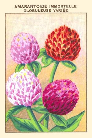 https://imgc.artprintimages.com/img/print/amarantoide-immortelle-globuleuse-variee_u-l-q19qvs10.jpg?p=0