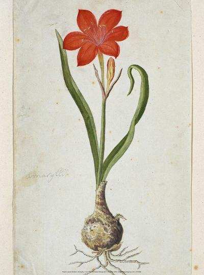 Amaryllis, 1777-Robert Jacob Gordon-Art Print