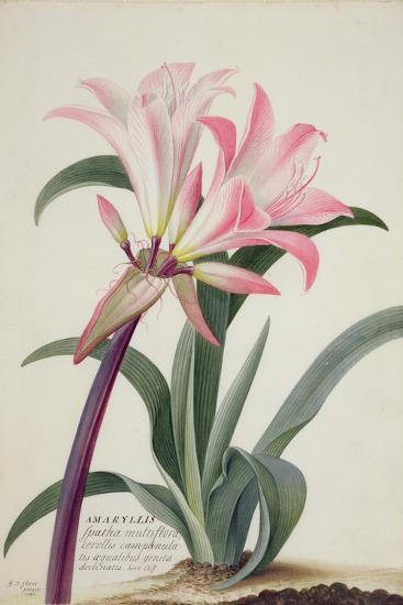 Amaryllis Belladonna, 1761-Georg Dionysius Ehret-Giclee Print