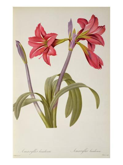 Amaryllis Brasiliensis, from `Les Liliacees' by Pierre Redoute, 8 Volumes, Published 1805-16,-Pierre-Joseph Redout?-Giclee Print