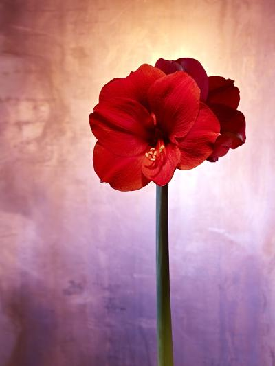 Amaryllis, Flower, Blossom, Still Life, Red, Violet-Axel Killian-Photographic Print