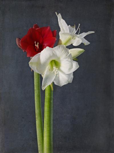 Amaryllis, Flowers, Blossoms, Still Life, Red, White, Black-Axel Killian-Photographic Print