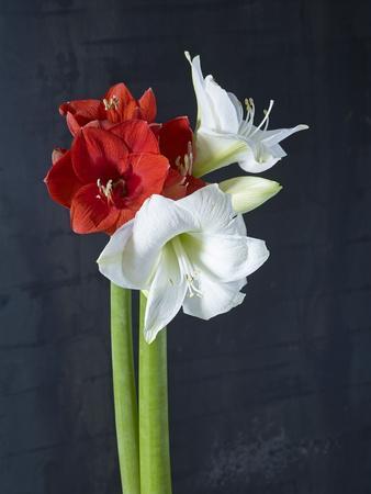 https://imgc.artprintimages.com/img/print/amaryllis-flowers-blossoms-still-life-red-white-black_u-l-q11ynw20.jpg?p=0