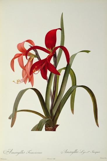 Amaryllis Formosissima, 1808, from 'Les Liliacees' by Pierre Redoute, 8 Volumes, Published 1805-16-Pierre-Joseph Redout?-Giclee Print
