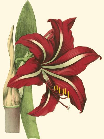 Amaryllis I-Cooke-Art Print