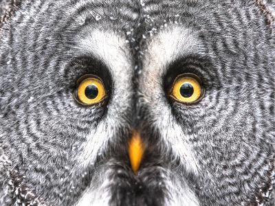 Amazed Great Grey Owl Hdr- Pics-xl-Photographic Print