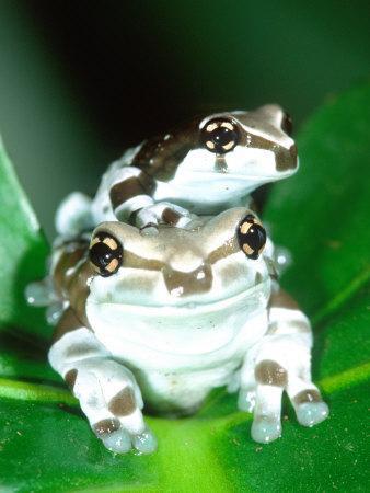 https://imgc.artprintimages.com/img/print/amazon-cave-frog-native-to-northern-south-america_u-l-p2tqoi0.jpg?p=0