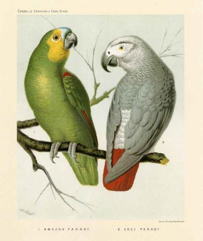 Amazon / Grey Parrots--Art Print