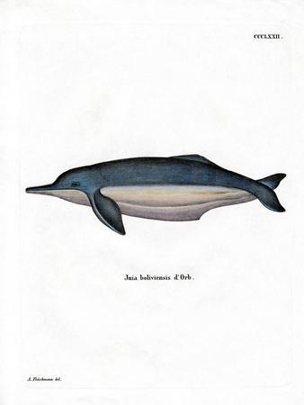 https://imgc.artprintimages.com/img/print/amazon-river-dolphin_u-l-pvqcwz0.jpg?p=0