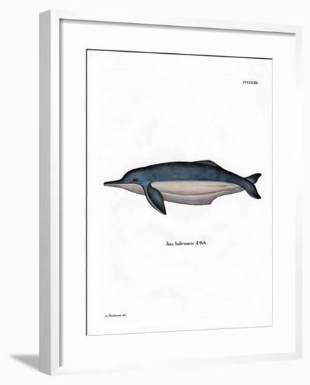 Amazon River Dolphin--Framed Giclee Print