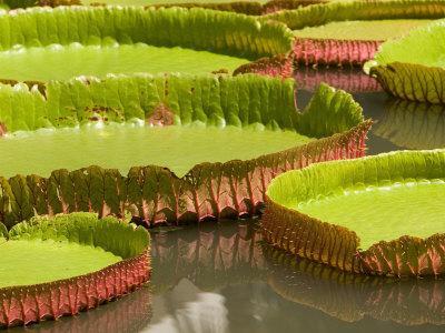 https://imgc.artprintimages.com/img/print/amazon-water-lilies-thailand_u-l-p58u8k0.jpg?p=0