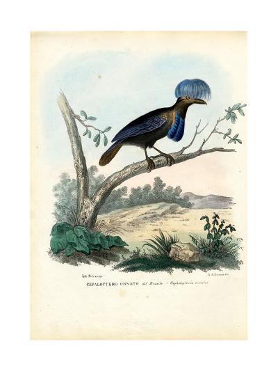 Amazonian Umbrellabird, 1863-79-Raimundo Petraroja-Giclee Print
