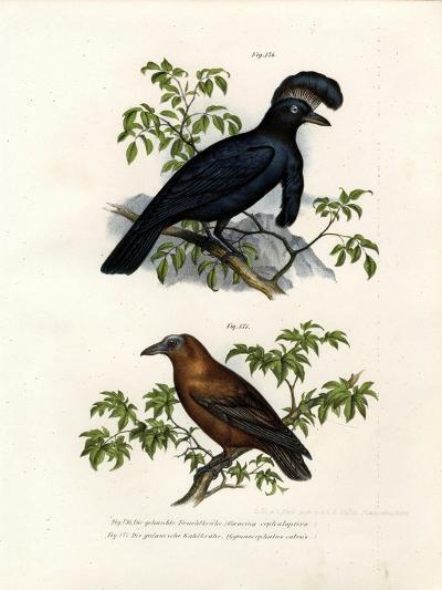 Amazonian Umbrellabird, 1864--Giclee Print